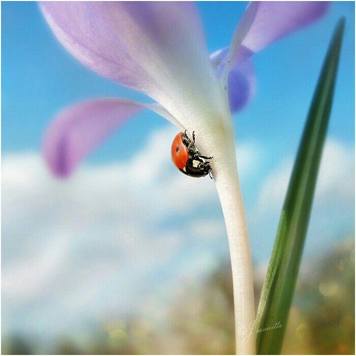 Lente - lieveheersbeestje en krokus / ladybug and crocus