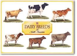 dairy cows - Google Search