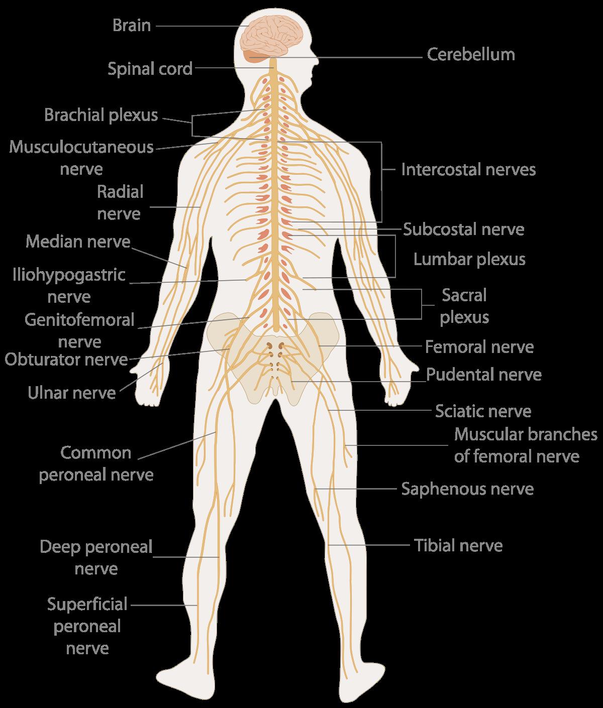 Knuckle Medical Diagram - Electrical Work Wiring Diagram •