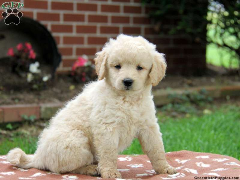 Tulsa Miniature Goldendoodle Puppy For Sale In Bird In Hand Pa