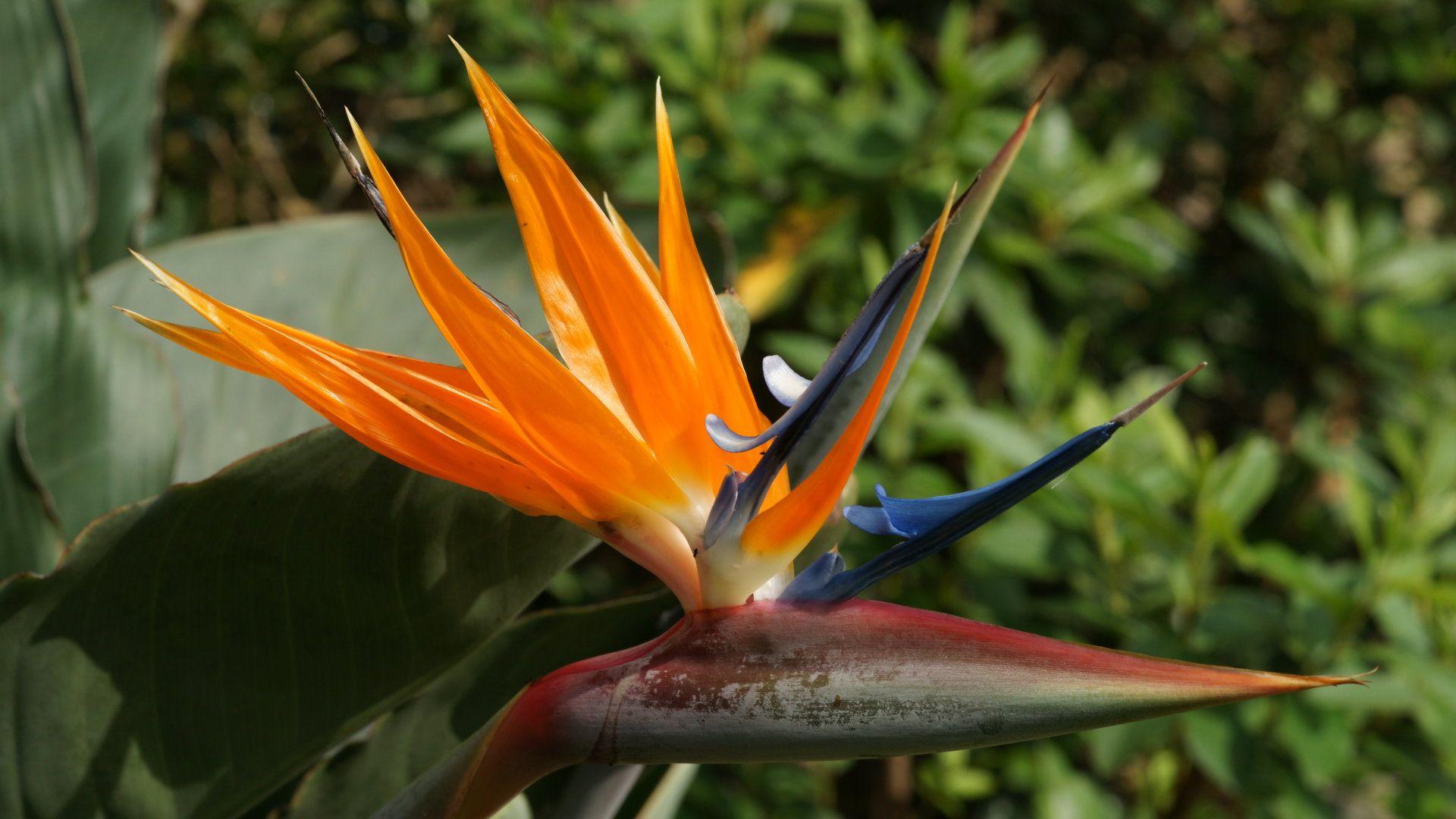 fond d'ecran gratuit fleurs exotiques martinique