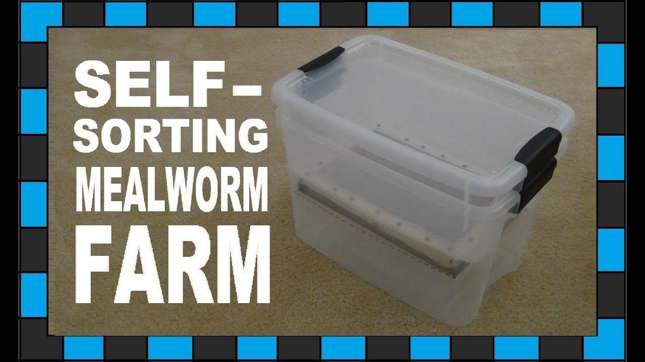 How to build a mealworm farm! YouTube Mealworm farm