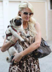 Most Popular Cute Small Dog Breeds Pugs Dogs 101 Baby Pugs Pugs