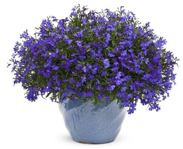 Flores colgantes para balc n fotos plantas decoracion - Plantas colgantes de exterior ...