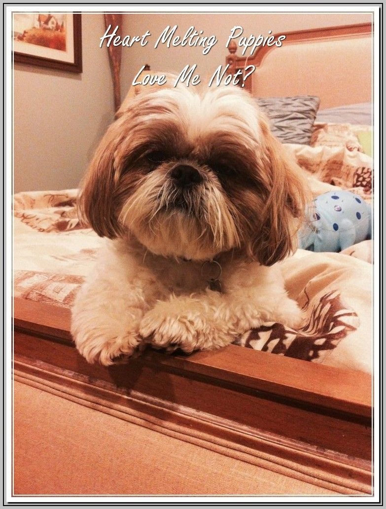Common Problems Related To Dogs Shih Tzu Dog Toy Dog Breeds