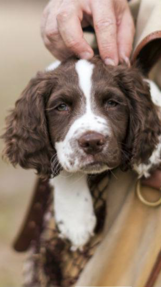 Pin By Victoria Wharam On Springers Spaniel Puppies Cocker Spaniel Puppies Spaniel Dog