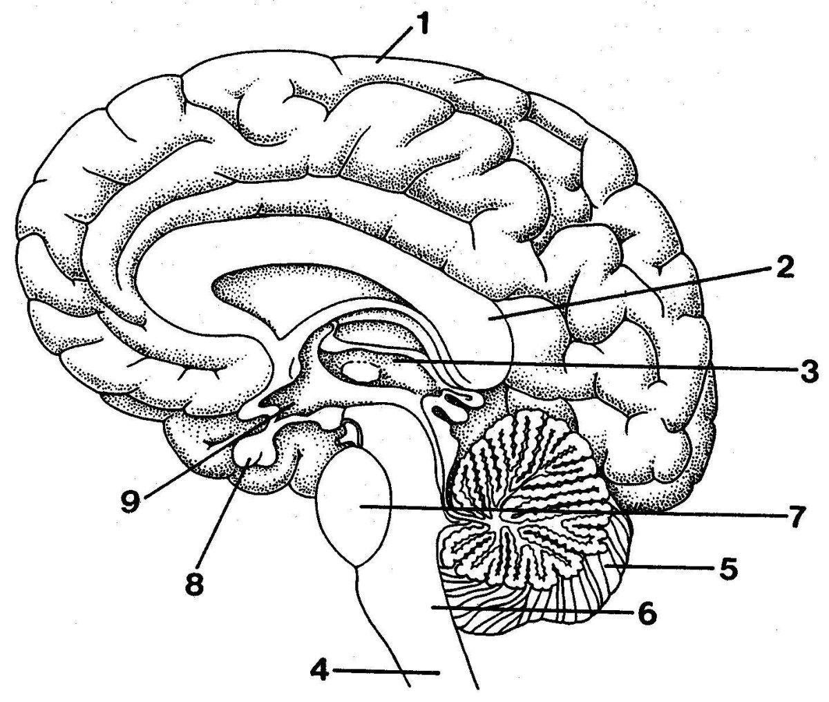 Blank Brain Diagram Blank Outline Of The Human Brain