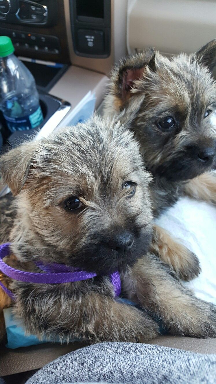 Harley And Sassy On Their Way To Their Forever Homes Cairn