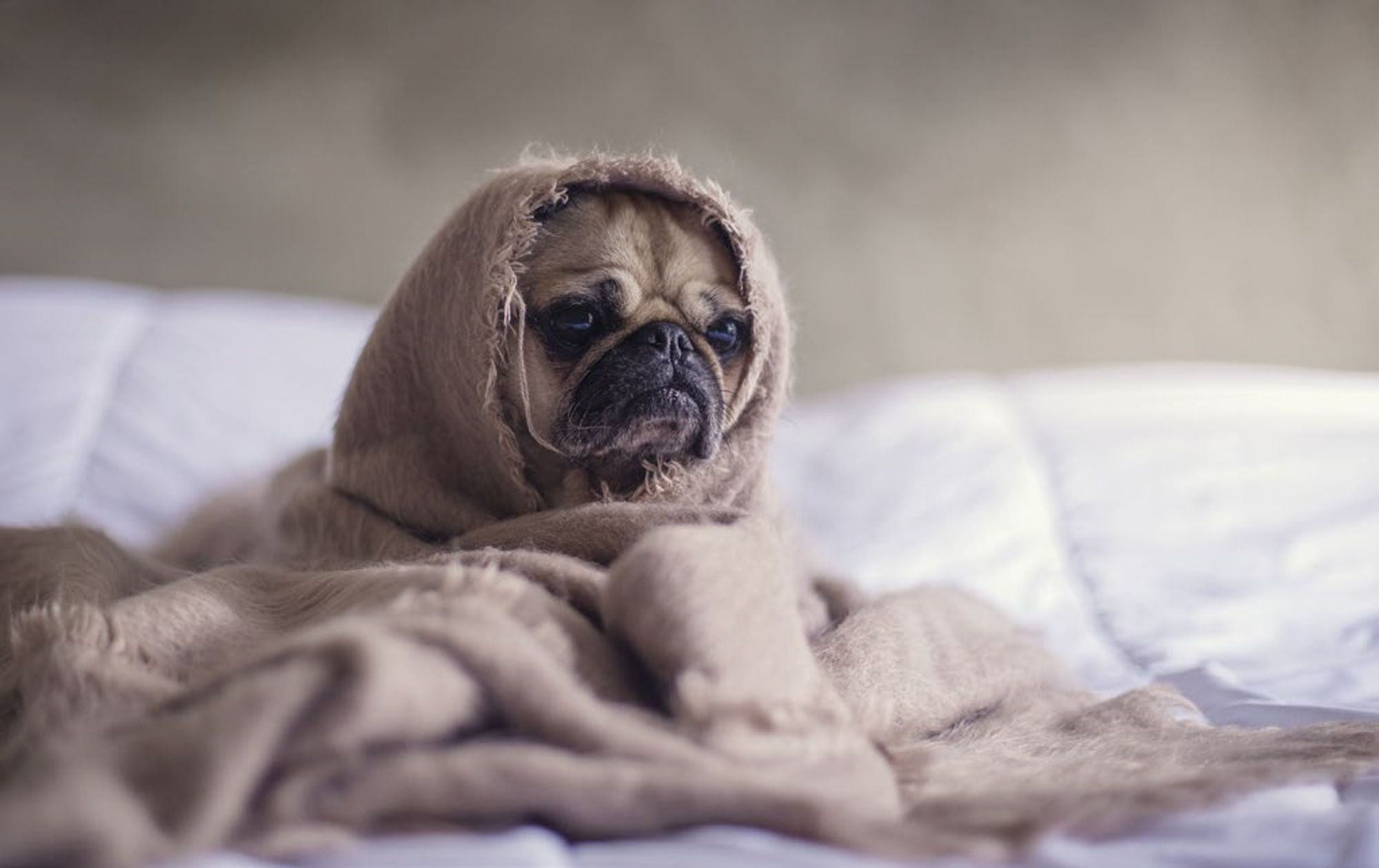 Winter Magazines Cozy Magazines The Dogs Pugs Cute Pugs