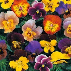 Angel Jester Mix Viola Annual Flower Seeds Swallowtail Garden