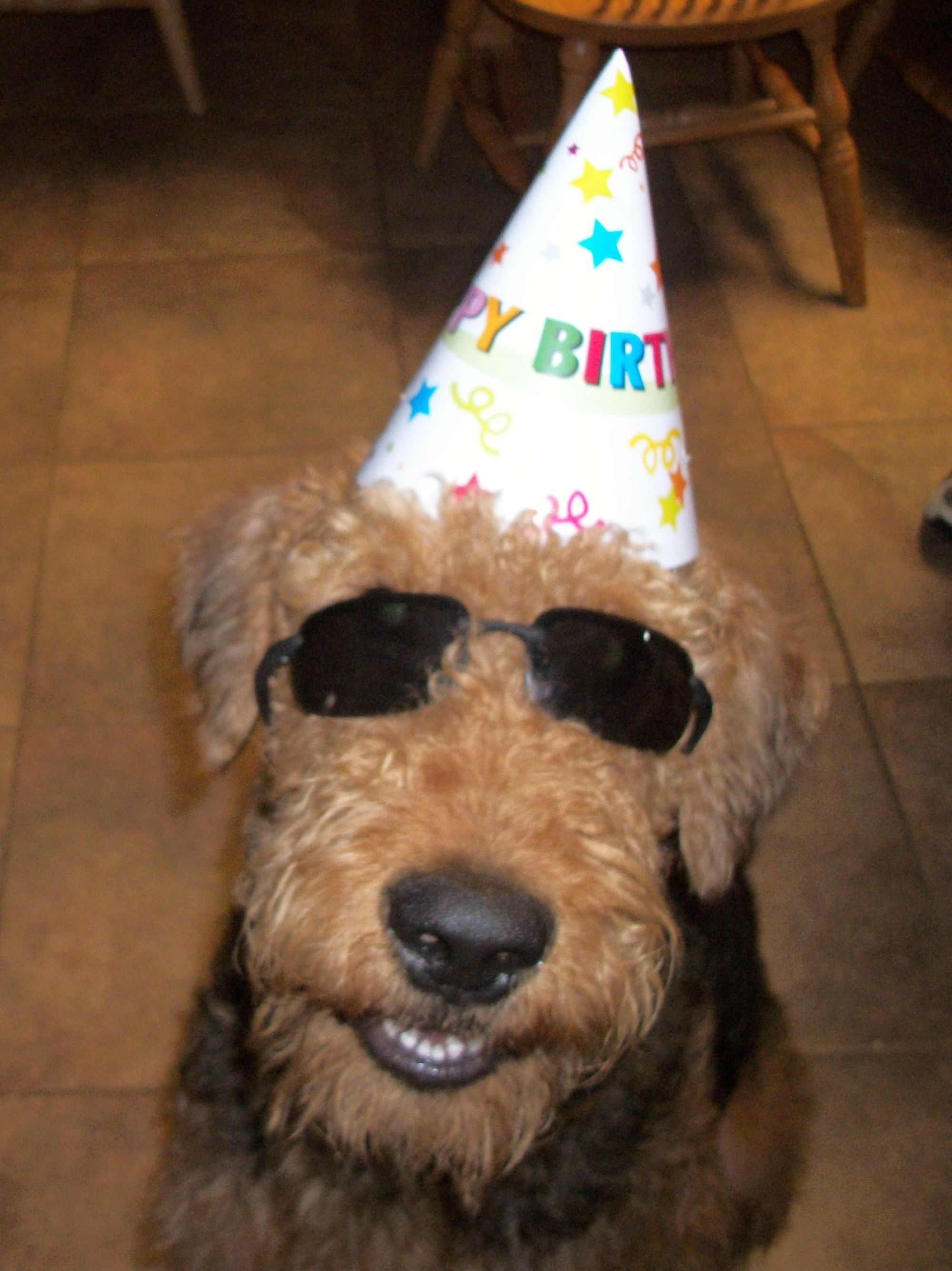 Airedale Already To Party On His First Birthday Airedale Dogs