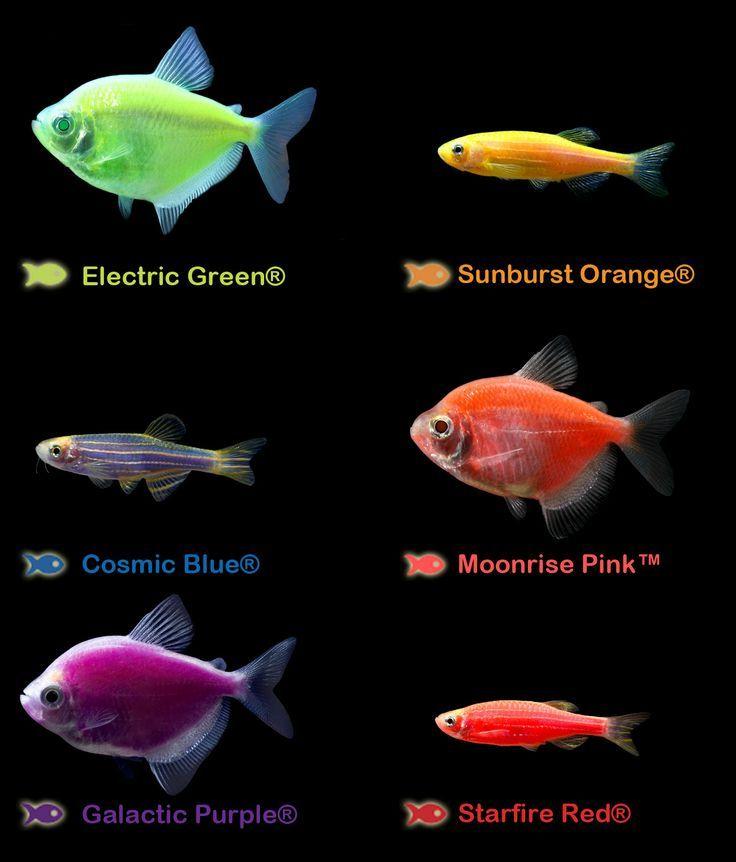 Freshwater Fish Google Search Guppy Aquarium