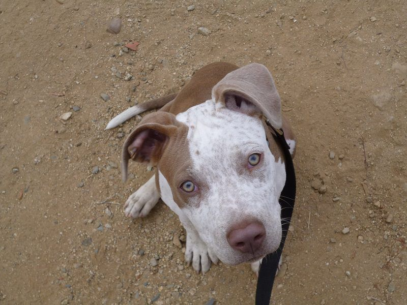 For Adoption In Echo Park Rico 5 Month Old Puppy And Pitbull Mix