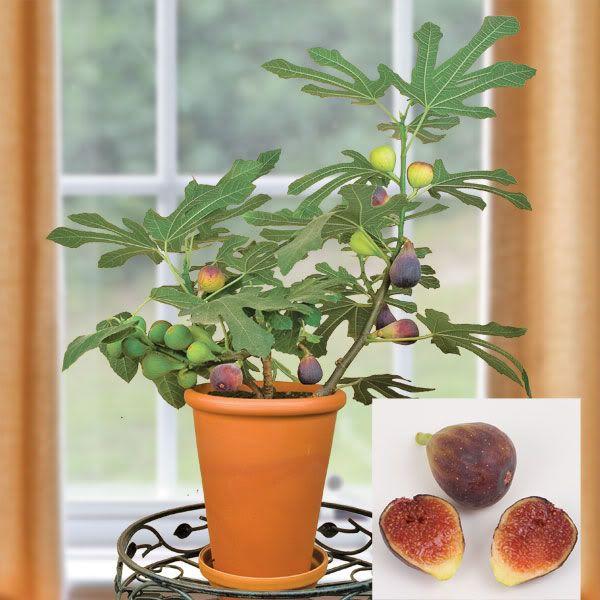 Obstbäume Balkon Anbauen Feigen Früchten Terakotta Topf Feigen Können Sie  Auch In Kübeln Auf Der Terrasse