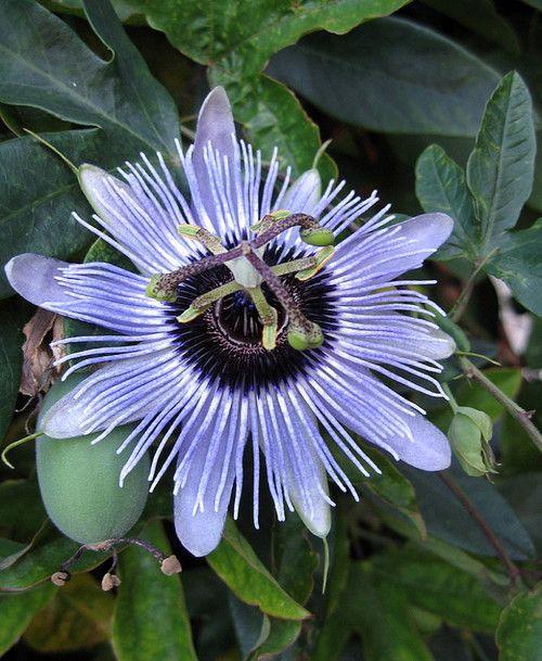 Blue Bouquet Passion Flower Plant Passiflora 4 Pot Passion Flower Plant Planting Flowers Passion Flower