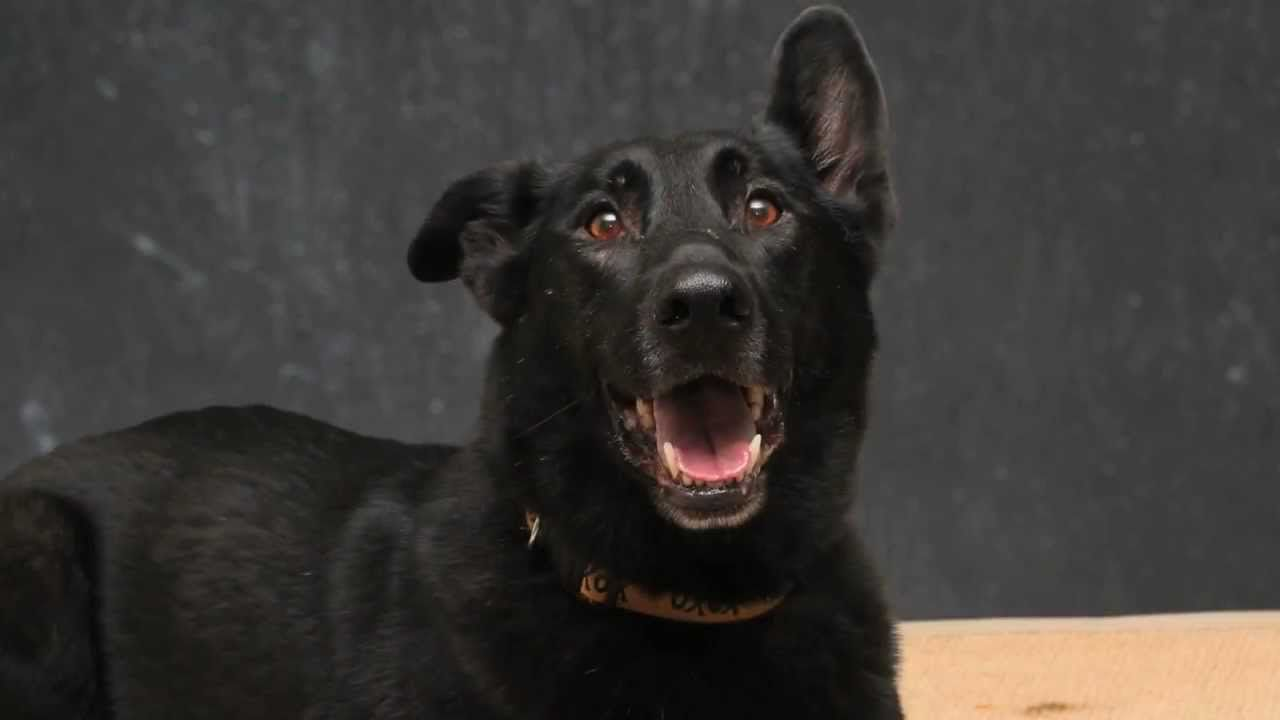 Beautiful Black Lab Buddy, a Rescue Success Story, Shows Off for Talent ...
