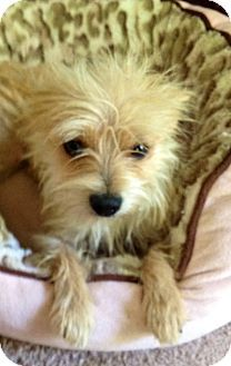Kiwi Adopted Dog Westport Ct Yorkie Yorkshire Terrier Chihuahua Mix Dog Breeds Pictures Little Dogs Yorkie