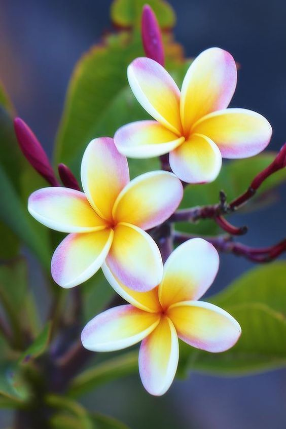 All White Plumeria Flowers Are Beautiful And With Meanings Of Their Own So Which Do You Prefer Beautiful Flow Plumeria Flowers Love Flowers Tropical Flowers