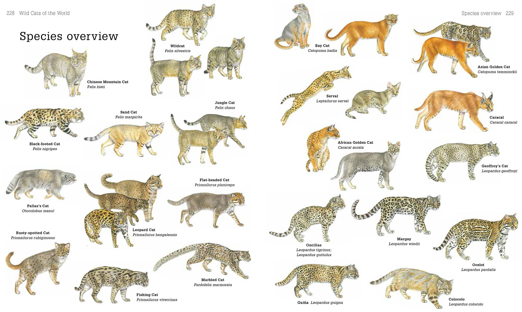 Secrets Of The World S 38 Species Of Wild Cats Types Of Wild Cats Cat Species Wild Cat Species