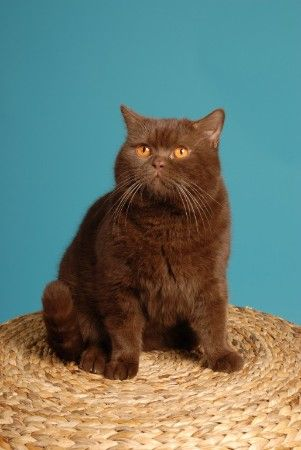 Chocolate British Shorthair Cat Http Le Domaine De Chopin Fr Index Html Cute Cats And Dogs British Shorthair Cats Cute Cats