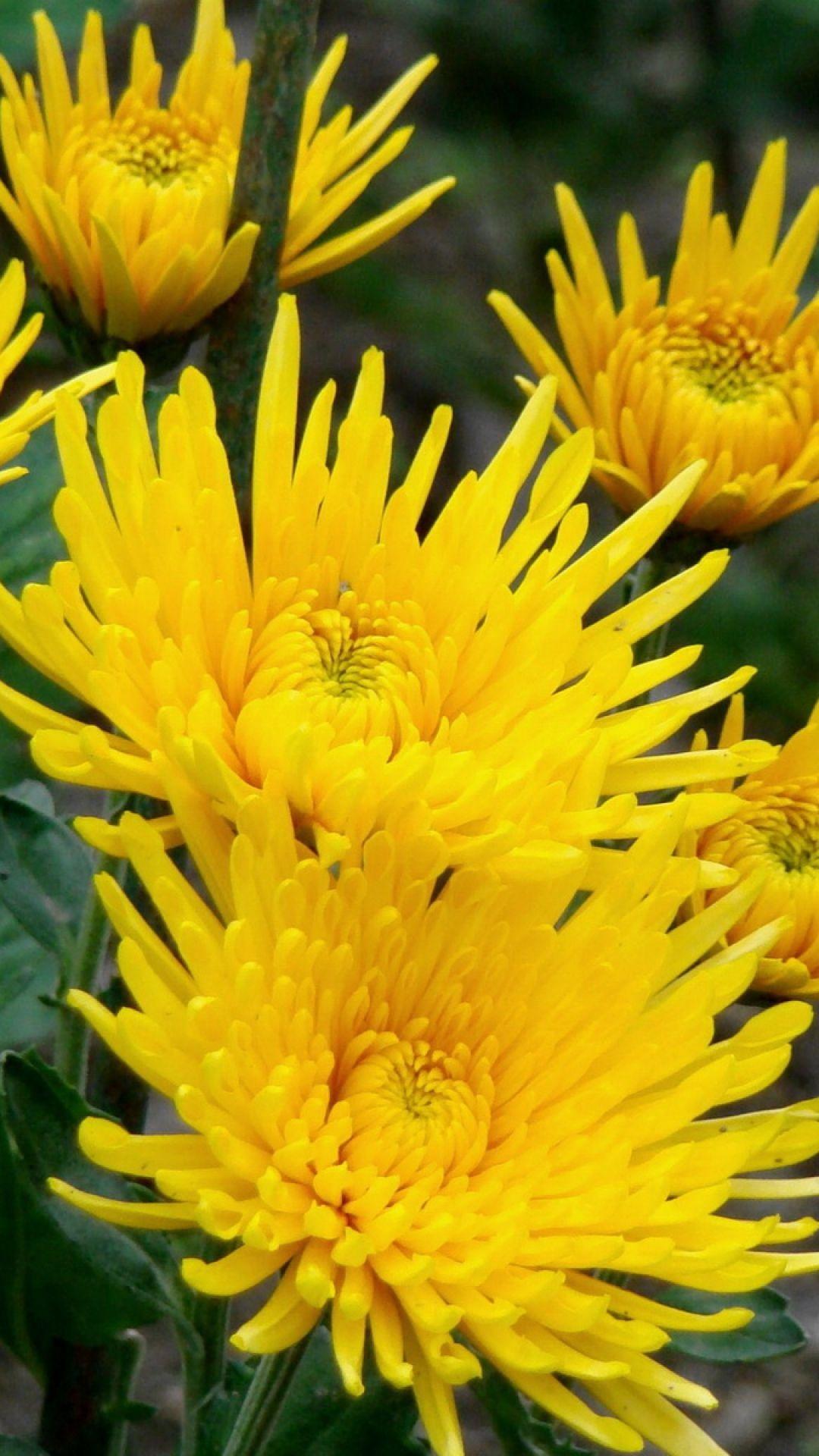 Chrysanthemums flowers yellow closeup krizantémok őszirózsák