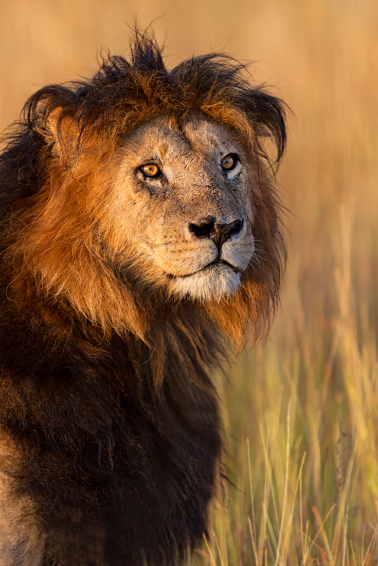 Black Maned Lion Strong Or Scary By Nature Lion Species Lion Male Lion