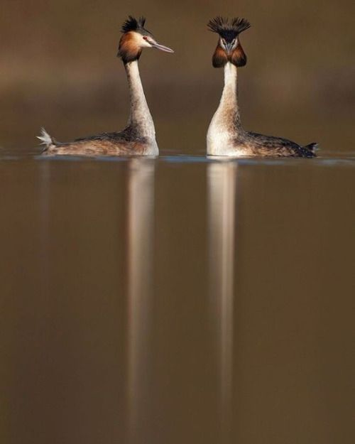 Great crested grebe courtshipby @andyparkinsonphoto/@thephotosociety