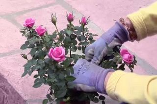 How To Take Care Of A Mini Rose Plant Hunker Planting Roses