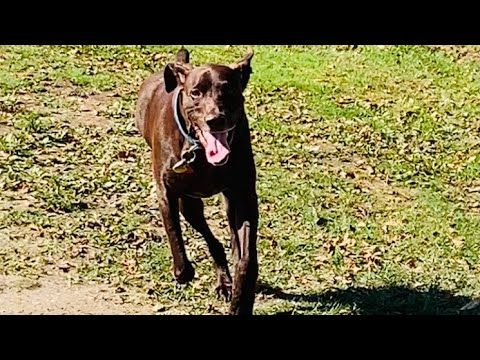 German Shorthaired Pointer | Chasing Birds - YouTube