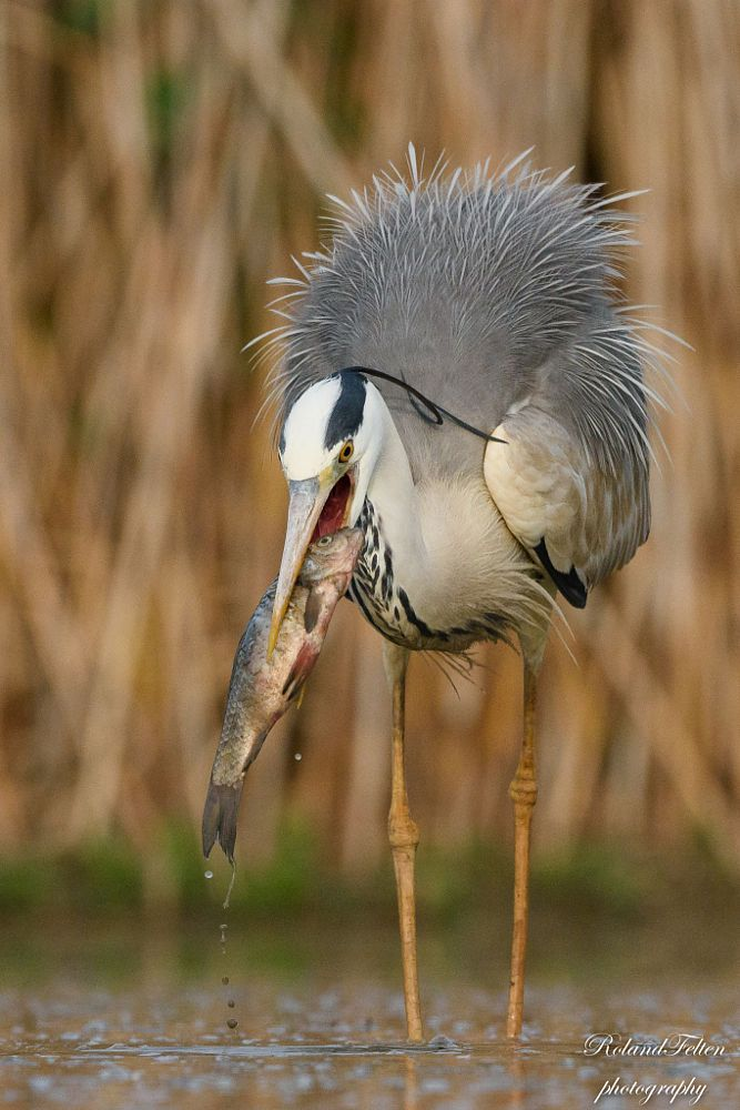 Grey Heron with catch by Roland Felten on 500px