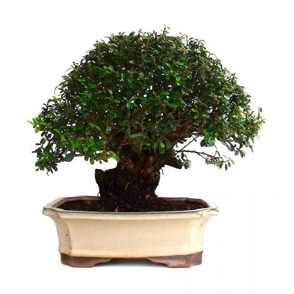 vente de bonsai cotoneaster 38 cm 131101 sankaly bonsa achat vente de bonsa et accessoires. Black Bedroom Furniture Sets. Home Design Ideas