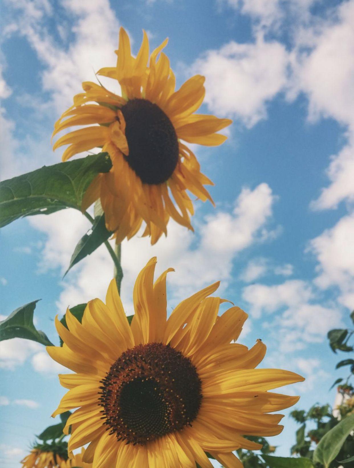 Pin by خليفه on خلفيات in 2020 Sunflower iphone