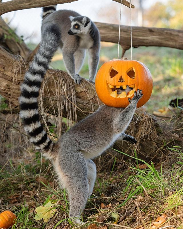 The lemurs have had a pumpkin party! wmspsafarianimals