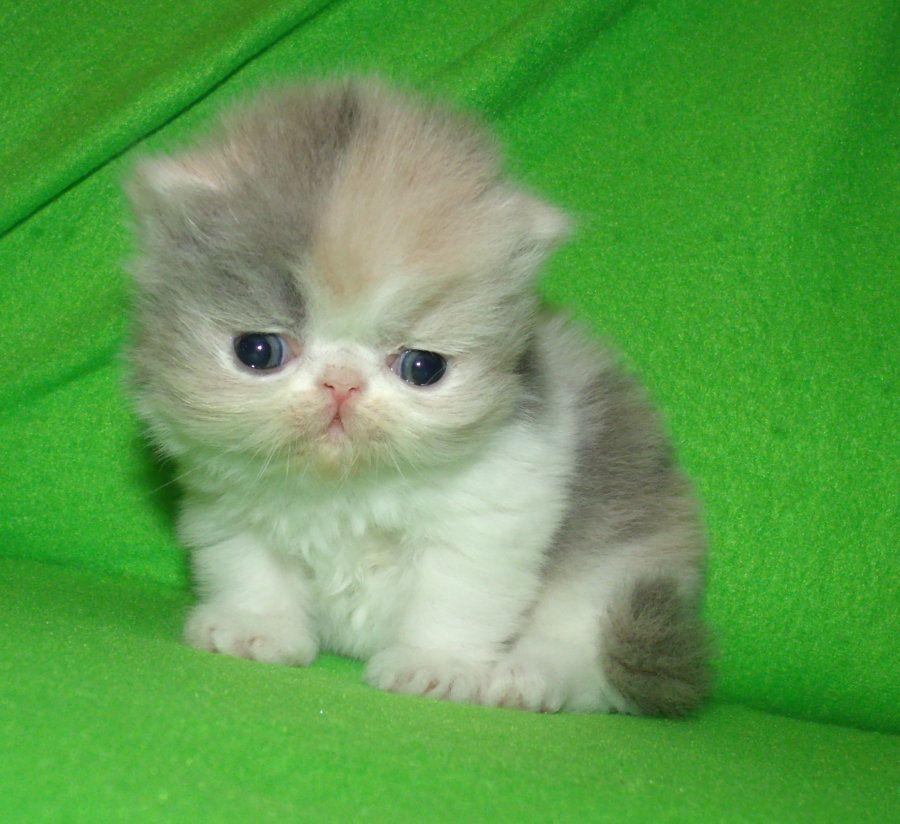 Himalayan Persian Kittens For Sale California