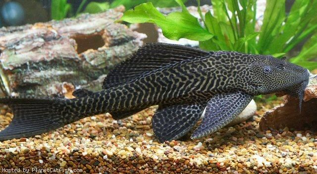 A guide for purchasing plecos (and other loricariids)Common pleco ...