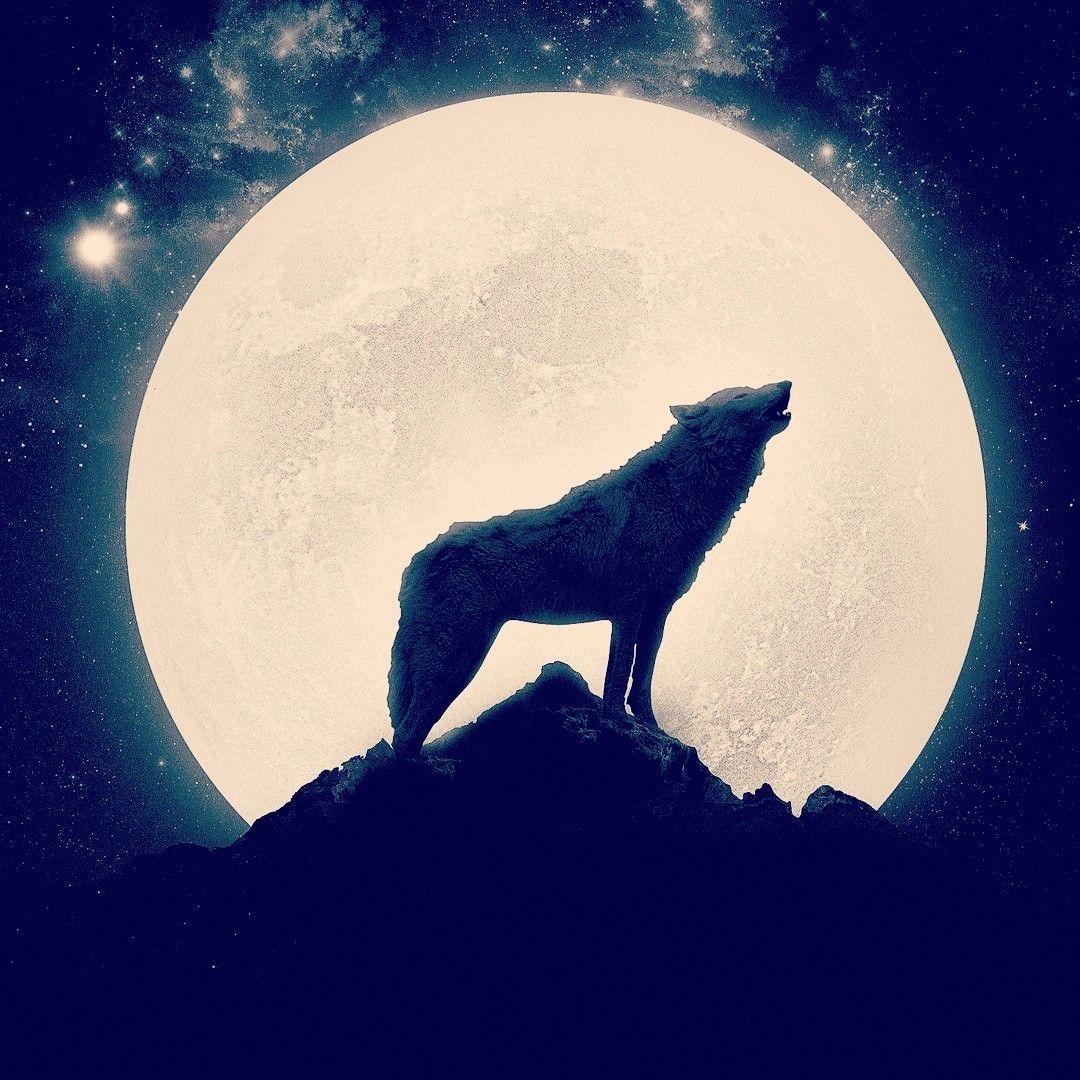 разбавляют картинка волк воет на луну сидя рассказ значительных