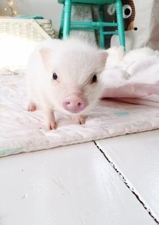 Pin By Tess Stevens On Cuteeeeee Teacup Pigs Mini Pigs Pigs For Sale