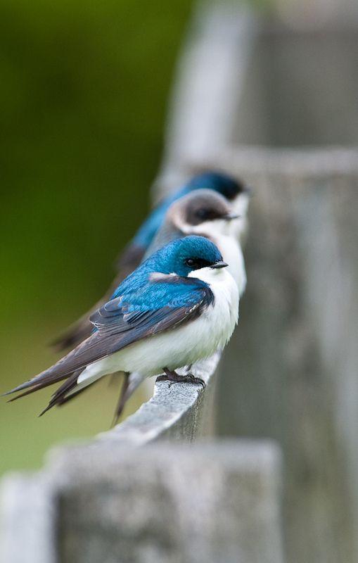 Tree Swallows | Flickr - Photo Sharing!