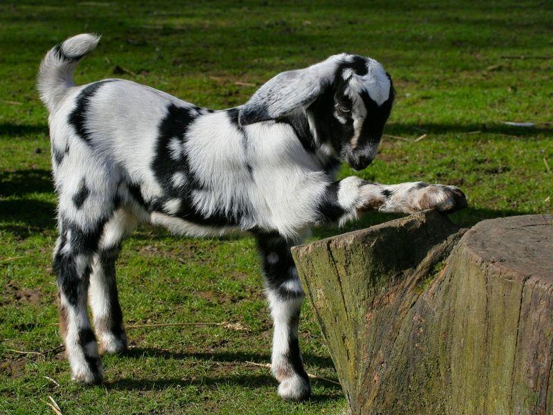 Goat Hd Wallpapers Cute Goats Goats Baby Goats