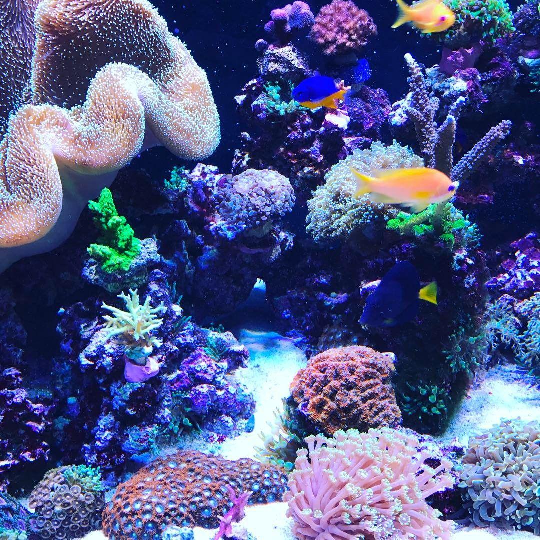 Bunte Unterwasserwelt im heimischen Aquarium #korallen #aquarium #reef #meerwasseraquarium #reeftank