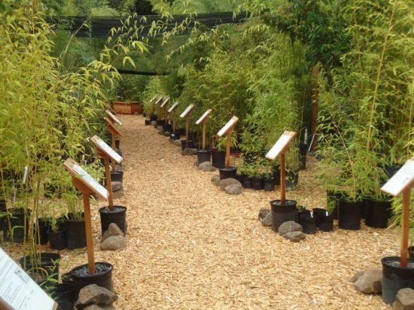 Bamboo Sourcery Plants For At Our Specialty Nursery In Sebastopol Ca
