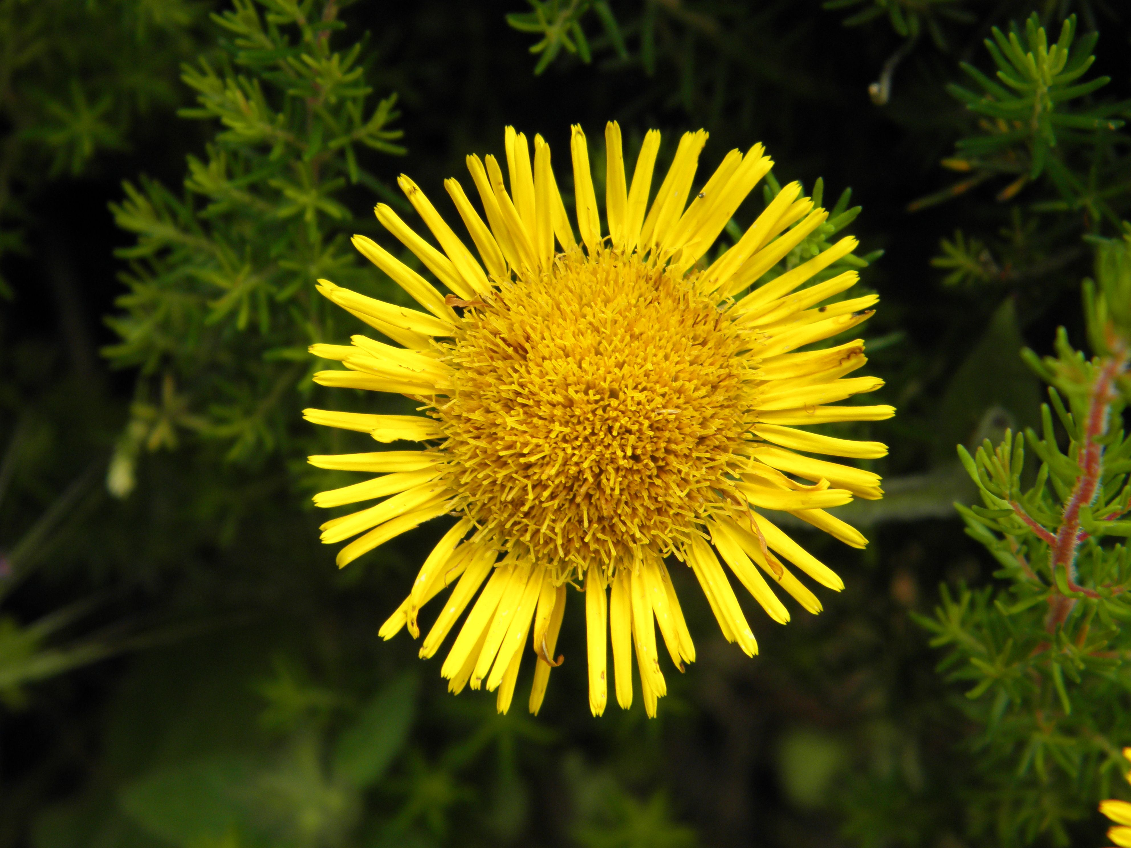 Fiori Gialli In Sardegna.Flower Sun Yellow Fiore Giallo Natura Sole Fiori Gialli