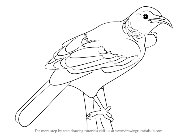 Learn How to Draw a Tui Bird Birds