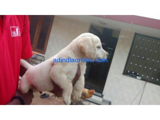 35 Days Old Male Lab Puppy For Sale In Thiruvananthapuram
