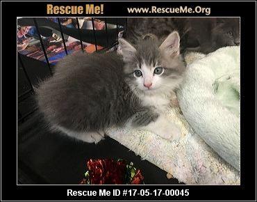 California Norwegian Forest Cat Rescue Adoptions Rescueme Org Norwegian Forest Cat Norwegian Forest Cat Rescue