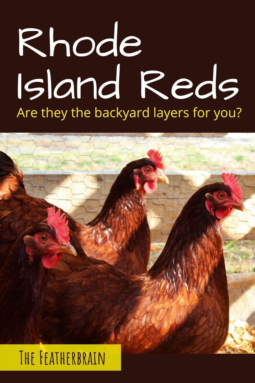 Considering Rhode Island Red chickens? The 19 thin