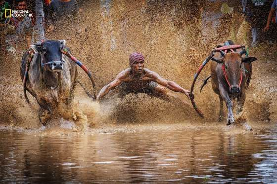 Pacu Jawi, or bull race, is held in Indonesia. Jockeys stand on the plow harnesses attached to each bull, running a short distance of about 100 feet. Whichever pair runs the fastest in a straight fashion fetches the highest price (as they are deemed the best workhorse in plowing the paddy fields for harvesting).    - Yh Lee, National Geographic