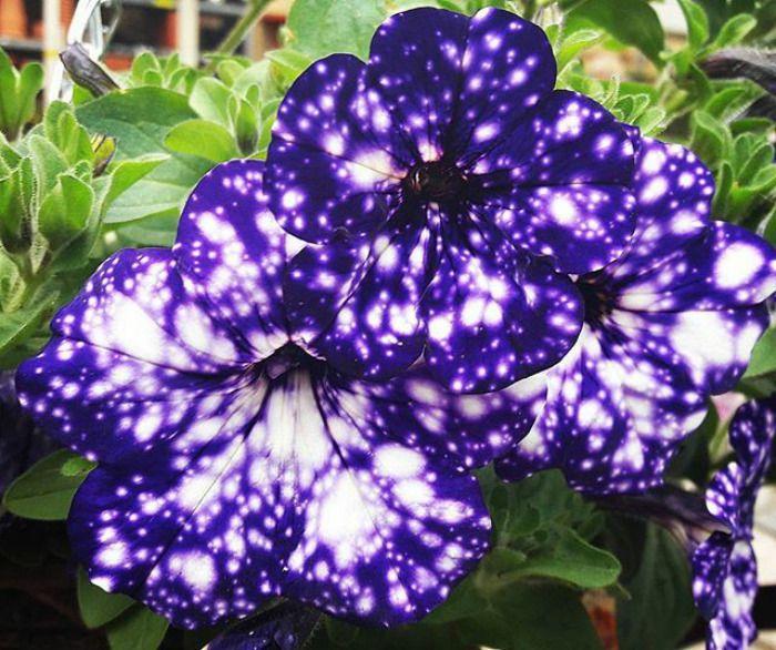 These Night Sky Petunia Petunia Flower Galaxy Flowers