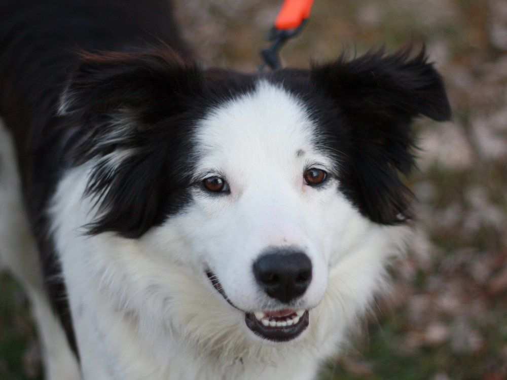 Border Collie Dog For Adoption In Cookeville Tn Adn 414052 On