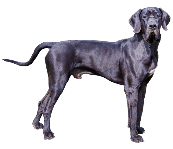 Great Dane Dog Breed Facts And Information Wag Dog Walking Dane Dog Great Dane Great Dane Dogs